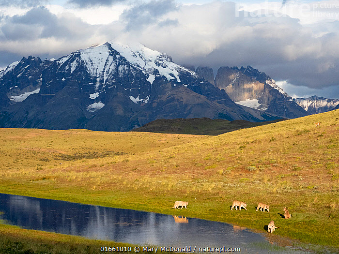 Puma (Puma concolor) family, mother with four cubs, drinking at pond with mountains of Torres del Paine National Park in background. Guanaco (prey species) can be seen in far distance on right hand side. Southern Chile, southern Andes, South America.  ,  Animal,Wildlife,Vertebrate,Mammal,Carnivore,Cat,Puma,Cougar,Animalia,Animal,Wildlife,Vertebrate,Mammalia,Mammal,Carnivora,Carnivore,Felidae,Cat,Puma,Puma concolor,Cougar,Mountain Lion,Group,Medium Group,Latin America,South America,Chile,Young Animal,Baby,Baby Mammal,Cub,Mountain,Landscape,Grassland,Steppe,Freshwater,Pond,Water,Habitat,Drinking,Reserve,Andes,Family,Mother baby,Mother,Protected area,National Park,Montane,Parent baby,Altitude,Torres del Paine,Felis concolor,  ,  Mary McDonald