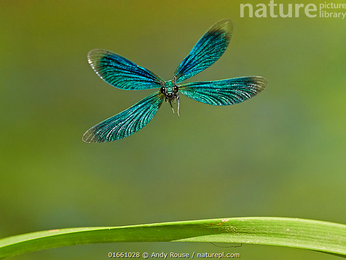 Beautiful Demoiselle damselfly (Calopteryx virgo), male flying, Wales, UK.  ,  Animal,Wildlife,Arthropod,Insect,Pterygota,Broadwinged damselfly,Beautiful demoiselle,Animalia,Animal,Wildlife,Hexapoda,Arthropod,Invertebrate,Hexapod,Arthropoda,Insecta,Insect,Odonata,Pterygota,Calopterygidae,Broadwinged damselfly,Broad winged damselfly,Demoiselle,Damselfly,Zygoptera,Calopteryx,Calopteryx virgo,Beautiful demoiselle,Libellula virgo,Flying,Colour,Blue,Green,Europe,Western Europe,UK,Great Britain,Wales,Plain Background,Front View,Male Animal,Wing,Beautiful,Iridescent,Iridescence,Eye contact,Direct Gaze,Looking,  ,  Andy Rouse