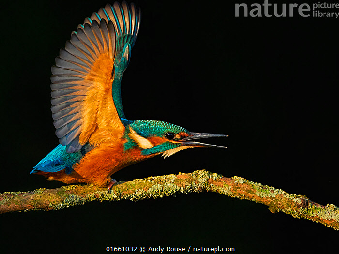 Common kingfisher (Alcedo atthis) displaying to sibling. Territorial behaviour, UK.  ,  Animal,Wildlife,Vertebrate,Bird,Birds,River kingfisher,Common kingfisher,Animalia,Animal,Wildlife,Vertebrate,Aves,Bird,Birds,Coraciiformes,Alcedinidae,River kingfisher,Kingfisher,Alcedo,Alcedo atthis,Common kingfisher,European kingfisher,Eurasian kingfisher,Europe,Western Europe,UK,Plain Background,Black Background,Plant,Branch,Branches,Mouth,Wing,Animal Behaviour,Territorial,Aggression,Display,Defensive,Wings spread,Wingspan,Open Mouth,Territories,Territory,  ,  Andy Rouse