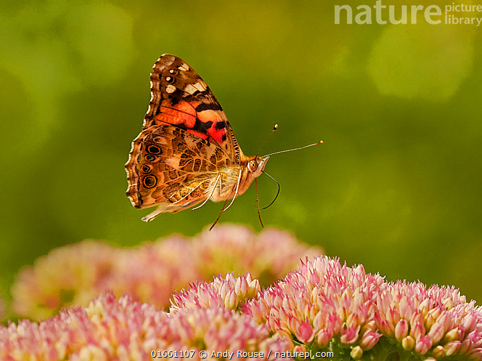 Painted lady butterfly (Vanessa cardui) flying over sedum (Hylotelephium) in a garden. Wales, UK. Summer.  ,  Plant,Vascular plant,Flowering plant,Dicot,Orpin,Animal,Wildlife,Arthropod,Insect,Brushfooted butterfly,Painted lady,Plantae,Plant,Tracheophyta,Vascular plant,Magnoliopsida,Flowering plant,Angiosperm,Spermatophyte,Spermatophytina,Angiospermae,Saxifragales,Dicot,Dicotyledon,Saxifraganae,Crassulaceae,Orpin,Stonecrop,Sedum,Animalia,Animal,Wildlife,Hexapoda,Arthropod,Invertebrate,Hexapod,Arthropoda,Insecta,Insect,Lepidoptera,Lepidopterans,Nymphalidae,Brushfooted butterfly,Fourfooted butterfly,Nymphalid,Butterfly,Papilionoidea,Vanessa,Vanessa cardui,Painted lady,Cosmopolitan,Cynthia cardui,Papilio cardui,Flying,Europe,Western Europe,UK,Great Britain,Wales,Garden,Feeding,Hylotelephium,  ,  Andy Rouse