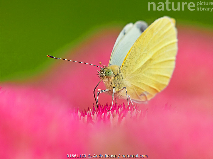 RF - Small white butterfly (Pieris napi) feeding on sedum Wales, UK. September. (This image can be sold as Rights managed or Royalty free).  ,  Animal,Wildlife,Arthropod,Insect,Butterfly,White,Green veined white,Animalia,Animal,Wildlife,Hexapoda,Arthropod,Invertebrate,Hexapod,Arthropoda,Insecta,Insect,Lepidoptera,Lepidopterans,Pieridae,Butterfly,Papilionoidea,Pieris,White,Garden white,Pieris napi,Green veined white,Papilio napi,Pieris arctica,Pieris canidiaformis,Pollination,Colour,Pink,Europe,Western Europe,UK,Great Britain,Wales,Plant,Flower,Summer,RF,Royalty free,RF6,  ,  Andy Rouse