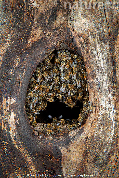 Honey bee (Apis mellifera) colony closing nest entrance to their hive inside an old black woodpecker nest cavity as viewed from outside, Germany.  ,  Animal,Wildlife,Arthropod,Insect,Bee,Honey bee,Animalia,Animal,Wildlife,Hexapoda,Arthropod,Invertebrate,Hexapod,Arthropoda,Insecta,Insect,Hymenoptera,Apidae,Bee,Apid bee,Apoidea,Apocrita,Apis,Honey bee,Honeybee,Colonial bee,Apini,Apis mellifera,European honey bee,Western honey bee,Apis mellifica,Closing,Teamwork,Europe,Western Europe,Germany,Plant,Tree,Animal Home,Entrance,Nest,Beehive,Beehives,Animal Behaviour,Tree hole,Nest hole,  ,  Ingo Arndt