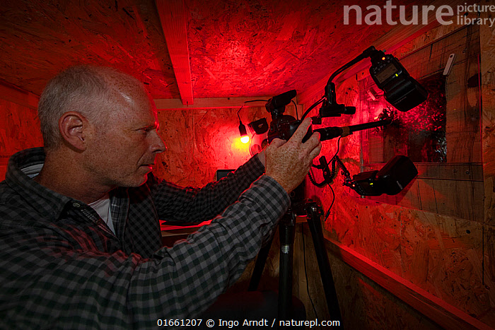 Wildlife Photographer Ingo Arndt in his hide taking pictures of the inside of a black woodpecker nest cavity colonized by honeybees (Apis mellifera), Germany  ,  Animal,Wildlife,Arthropod,Insect,Bee,Honey bee,Animalia,Animal,Wildlife,Hexapoda,Arthropod,Invertebrate,Hexapod,Arthropoda,Insecta,Insect,Hymenoptera,Apidae,Bee,Apid bee,Apoidea,Apocrita,Apis,Honey bee,Honeybee,Colonial bee,Apini,Apis mellifera,European honey bee,Western honey bee,Apis mellifica,People,European Descent,Caucasian Ethnicity,Man,Photographer,Photographers,Europe,Western Europe,Germany,Side View,Portrait,Equipment,Photographic Equipment,Camera,  ,  Ingo Arndt