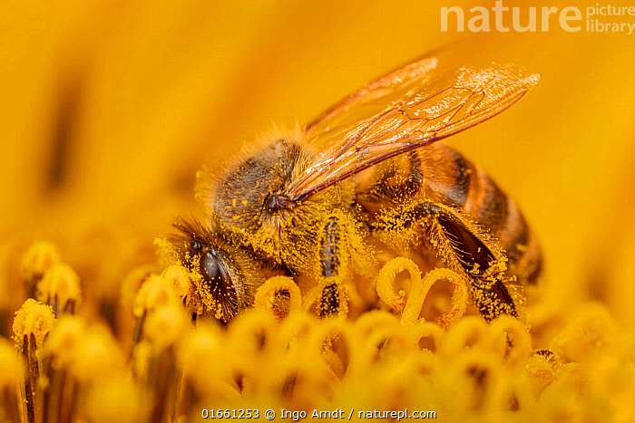 Honey bee (Apis mellifera) covered in pollen, collecting from a sunflower, Germany.  ,  Animal,Wildlife,Arthropod,Insect,Bee,Honey bee,Animalia,Animal,Wildlife,Hexapoda,Arthropod,Invertebrate,Hexapod,Arthropoda,Insecta,Insect,Hymenoptera,Apidae,Bee,Apid bee,Apoidea,Apocrita,Apis,Honey bee,Honeybee,Colonial bee,Apini,Apis mellifera,European honey bee,Western honey bee,Apis mellifica,Colour,Yellow,Europe,Western Europe,Germany,Close Up,Side View,Plant,Pollen,Macros,  ,  Ingo Arndt