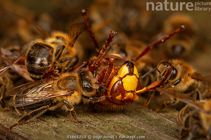 Honey bees (Apis mellifera) attacking a hornet (Vespa crabro). Honeybees survive a 1 degree Celsius higher body temperature than hornets. When they attack a hornet, they cover it, heat their own bodies as much as they can and overheat the hornet. After half an hour, the hornet is dead. The ball dissolves and the Hornet is carried away from the hive. Germany. Sequence 7 of 7  ,  Animal,Wildlife,Arthropod,Insect,Bee,Honey bee,Wasp,Hornet,European hornet,Animalia,Animal,Wildlife,Hexapoda,Arthropod,Invertebrate,Hexapod,Arthropoda,Insecta,Insect,Hymenoptera,Apidae,Bee,Apid bee,Apoidea,Apocrita,Apis,Honey bee,Honeybee,Colonial bee,Apini,Apis mellifera,European honey bee,Western honey bee,Apis mellifica,Vespidae,Wasp,Hunting wasp,Vespoid wasp,Vespa,Hornet,Social wasp,Vespa crabro,European hornet,Vespa major,Vespa vexator,Vespa borealis,Attacking,Teamwork,Europe,Western Europe,Germany,Close Up,Animal Behaviour,Aggression,Defensive,Macros,Mixed species,Interesting,  ,  Ingo Arndt