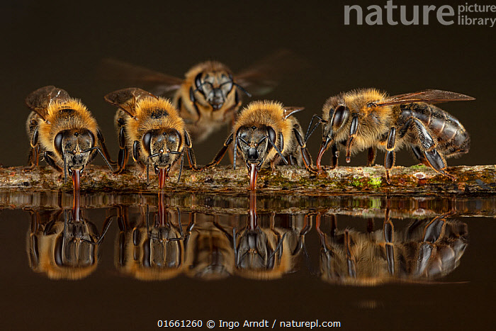 Honey bees (Apis mellifera), drinking water on hot summer day, Germany  ,  Animal,Wildlife,Arthropod,Insect,Bee,Honey bee,Animalia,Animal,Wildlife,Hexapoda,Arthropod,Invertebrate,Hexapod,Arthropoda,Insecta,Insect,Hymenoptera,Apidae,Bee,Apid bee,Apoidea,Apocrita,Apis,Honey bee,Honeybee,Colonial bee,Apini,Apis mellifera,European honey bee,Western honey bee,Apis mellifica,Group,Medium Group,Europe,Western Europe,Germany,Plain Background,Black Background,Reflection,Summer,Water,Drinking,  ,  Ingo Arndt