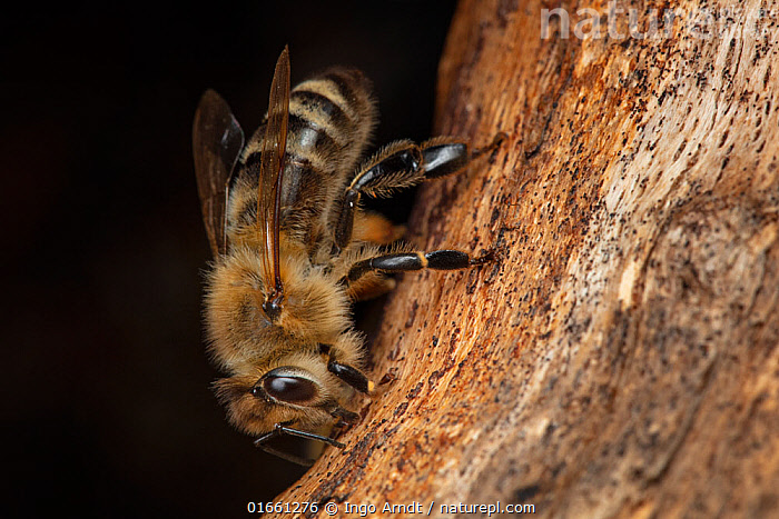 Honey bee (Apis mellifera) worker cleaning the wall around the entrance of the tree hole nest, preparing for the colony to occupy it, Germany.  ,  Animal,Wildlife,Arthropod,Insect,Bee,Honey bee,Animalia,Animal,Wildlife,Hexapoda,Arthropod,Invertebrate,Hexapod,Arthropoda,Insecta,Insect,Hymenoptera,Apidae,Bee,Apid bee,Apoidea,Apocrita,Apis,Honey bee,Honeybee,Colonial bee,Apini,Apis mellifera,European honey bee,Western honey bee,Apis mellifica,Cleaning,Europe,Western Europe,Germany,Close Up,Side View,Plant,Tree,Animal Home,Nest,Macros,Worker,Tree hole,Nest hole,  ,  Ingo Arndt