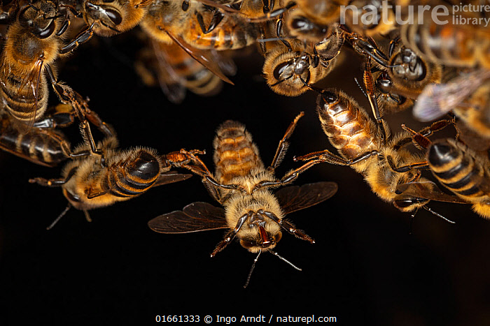 Close up of Honey bees (Apis mellifera) forming 'chains' and a 'ball' at the top of their tree hole nest as they establish a colony, Germany.  ,  Animal,Wildlife,Arthropod,Insect,Bee,Honey bee,Animalia,Animal,Wildlife,Hexapoda,Arthropod,Invertebrate,Hexapod,Arthropoda,Insecta,Insect,Hymenoptera,Apidae,Bee,Apid bee,Apoidea,Apocrita,Apis,Honey bee,Honeybee,Colonial bee,Apini,Apis mellifera,European honey bee,Western honey bee,Apis mellifica,Teamwork,Europe,Western Europe,Germany,Plain Background,Black Background,Close Up,High Speed,Animal Home,Nest,Beehive,Beehives,Animal Behaviour,Cooperation,Macros,  ,  Ingo Arndt