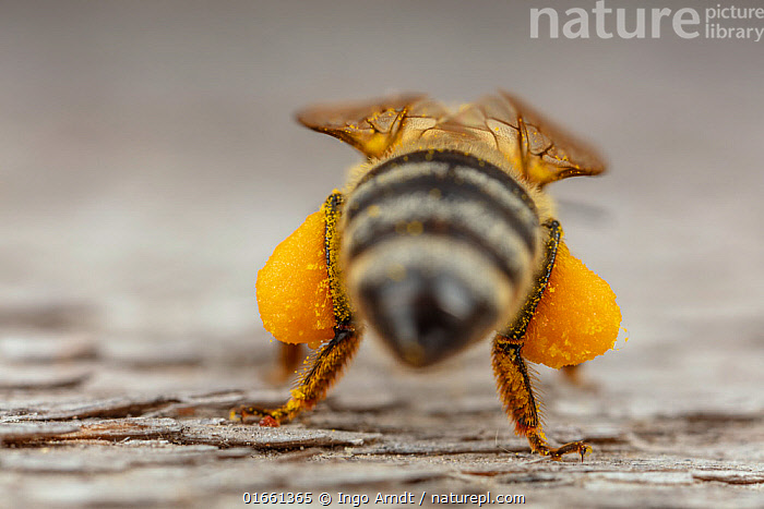 Rear view of a Honey bee (Apis mellifera), with corbicula (pollen sacs) full of pollen, Germany. May.  ,  Animal,Wildlife,Arthropod,Insect,Bee,Honey bee,Animalia,Animal,Wildlife,Hexapoda,Arthropod,Invertebrate,Hexapod,Arthropoda,Insecta,Insect,Hymenoptera,Apidae,Bee,Apid bee,Apoidea,Apocrita,Apis,Honey bee,Honeybee,Colonial bee,Apini,Apis mellifera,European honey bee,Western honey bee,Apis mellifica,Pattern,Stripes,Close Up,Rear View,Plant,Pollen,Animal Abdomens,Abdomen,Abdomens,Arty shots,Abstract,Abstracts,Pollen sac,  ,  Ingo Arndt