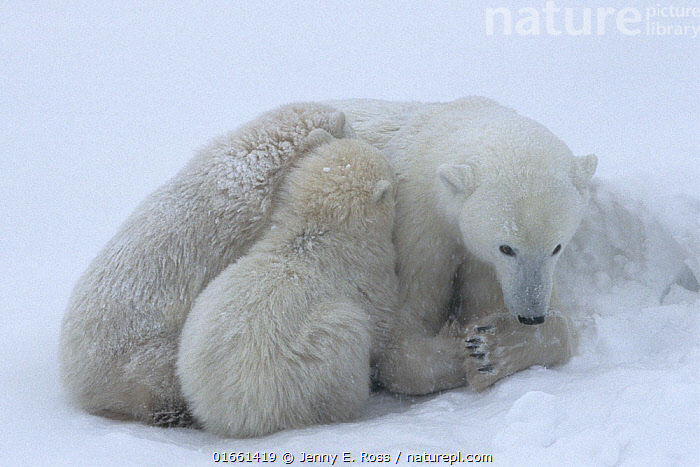 Polar bear (Ursus maritumus) female and twin cubs (age about 10-11 months) resting in a day-bed during a snowstorm. Wapusk National Park , Hudson Bay, Manitoba, Canada. November.  ,  Animal,Wildlife,Vertebrate,Mammal,Carnivore,Bear,Polar bear,Animalia,Animal,Wildlife,Vertebrate,Mammalia,Mammal,Carnivora,Carnivore,Ursidae,Bear,Ursus,Ursus maritimus,Polar bear,Ursus labradorensis,Ursus marinus,Ursus polaris,Resting,Rest,Sleeping,North America,Canada,Manitoba,Arctic,Polar,Young Animal,Baby,Baby Mammal,Cub,Snow,Family,Mother baby,Mother,Parent baby,Endangered species,threatened,Vulnerable  ,  Jenny E. Ross
