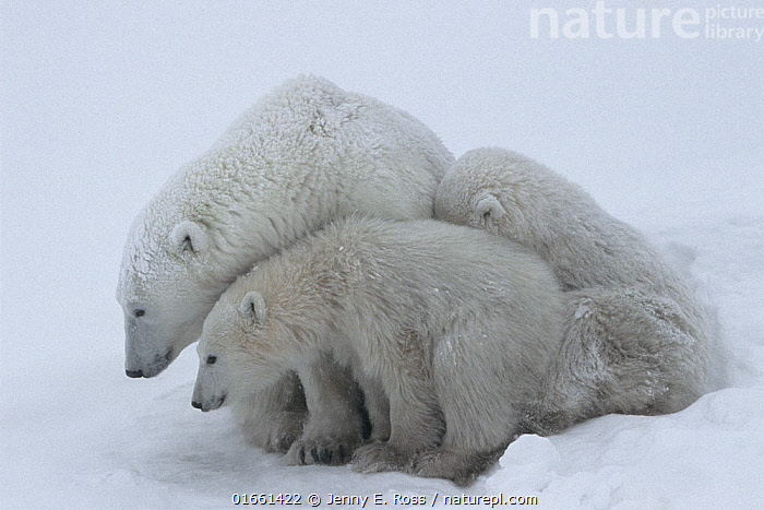 Mother polar bear (Ursus maritumus) and twin cubs (about 10-11 months old) resting in a day-bed during a snowstorm. Wapusk National Park near the edge of Hudson Bay, Manitoba, Canada.  ,  Animal,Wildlife,Vertebrate,Mammal,Carnivore,Bear,Polar bear,Animalia,Animal,Wildlife,Vertebrate,Mammalia,Mammal,Carnivora,Carnivore,Ursidae,Bear,Ursus,Ursus maritimus,Polar bear,Ursus labradorensis,Ursus marinus,Ursus polaris,Resting,Rest,Sleeping,North America,Canada,Manitoba,Arctic,Polar,Young Animal,Baby,Baby Mammal,Cub,Snow,Family,Mother baby,Mother,Parent baby,Endangered species,threatened,Vulnerable  ,  Jenny E. Ross