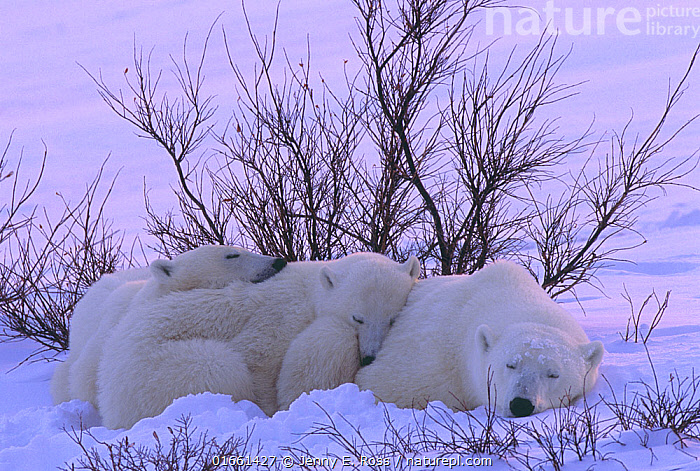Polar bear (Ursus maritimus) mother and twin cubs rest in the snow among willows on the shore of Hudson Bay, Manitoba, Canada. November.  ,  Animal,Wildlife,Vertebrate,Mammal,Carnivore,Bear,Polar bear,Animalia,Animal,Wildlife,Vertebrate,Mammalia,Mammal,Carnivora,Carnivore,Ursidae,Bear,Ursus,Ursus maritimus,Polar bear,Ursus labradorensis,Ursus marinus,Ursus polaris,Resting,Rest,Sleeping,North America,Canada,Manitoba,Arctic,Polar,Young Animal,Baby,Baby Mammal,Cub,Snow,Family,Mother baby,Mother,Parent baby,Endangered species,threatened,Vulnerable  ,  Jenny E. Ross