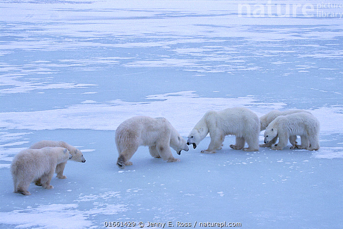Polar bear (Ursus maritimus) territorial confrontation on the sea ice between two polar bear family groups (two adult females each with twin cubs). Wapusk National Park, Hudson Bay, Manitoba, Canada. November.  ,  Animal,Wildlife,Vertebrate,Mammal,Carnivore,Bear,Polar bear,Animalia,Animal,Wildlife,Vertebrate,Mammalia,Mammal,Carnivora,Carnivore,Ursidae,Bear,Ursus,Ursus maritimus,Polar bear,Ursus labradorensis,Ursus marinus,Ursus polaris,North America,Canada,Manitoba,Arctic,Polar,Young Animal,Baby,Baby Mammal,Cub,Snow,Landscape,Habitat,Animal Behaviour,Territorial,Aggression,Family,Mother baby,Mother,Parent baby,Territories,Territory,Endangered species,threatened,Vulnerable  ,  Jenny E. Ross