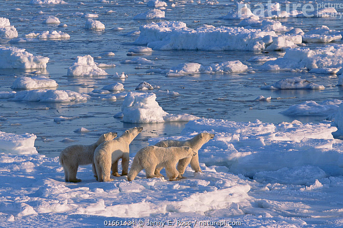 Adult female polar bear (second from left) and her 24-month-old triplets (very unusual for all three to survive), hunting on the sea ice.  ,  Animal,Wildlife,Vertebrate,Mammal,Carnivore,Bear,Polar bear,Animalia,Animal,Wildlife,Vertebrate,Mammalia,Mammal,Carnivora,Carnivore,Ursidae,Bear,Ursus,Ursus maritimus,Polar bear,Ursus labradorensis,Ursus marinus,Ursus polaris,North America,Canada,Manitoba,Arctic,Polar,Snow,Landscape,Habitat,Family,Mother baby,Mother,Parent baby,Endangered species,threatened,Vulnerable  ,  Jenny E. Ross