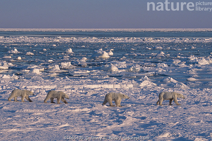 Polar bear (Ursus maritimus) triplet cubs age nearly three years, walking behind their mother. Hudson Bay, Manitoba, Canada. End of November.  ,  Animal,Wildlife,Vertebrate,Mammal,Carnivore,Bear,Polar bear,Animalia,Animal,Wildlife,Vertebrate,Mammalia,Mammal,Carnivora,Carnivore,Ursidae,Bear,Ursus,Ursus maritimus,Polar bear,Ursus labradorensis,Ursus marinus,Ursus polaris,North America,Canada,Manitoba,Arctic,Polar,Young Animal,Baby,Baby Mammal,Cub,Snow,Landscape,Habitat,Family,Mother baby,Mother,Parent baby,Endangered species,threatened,Vulnerable  ,  Jenny E. Ross