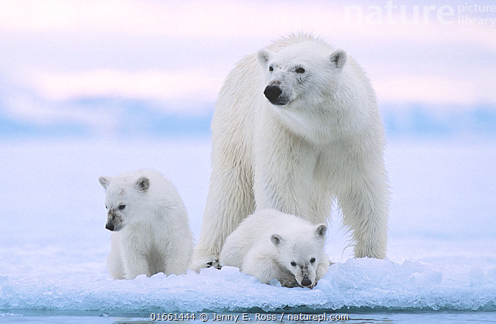 Polar bear (Ursus maritimus) and her twin cubs (age 6 months ) at the edge of fjord ice near Nordaustlandet, Svalbard Archipelago, Norway,  ,  Animal,Wildlife,Vertebrate,Mammal,Carnivore,Bear,Polar bear,Arctic,Animalia,Animal,Wildlife,Vertebrate,Mammalia,Mammal,Carnivora,Carnivore,Ursidae,Bear,Ursus,Ursus maritimus,Polar bear,Ursus labradorensis,Ursus marinus,Ursus polaris,Europe,Northern Europe,North Europe,Nordic Countries,Scandinavia,Norway,Svalbard,Young Animal,Baby,Baby Mammal,Cub,Snow,Family,Mother baby,Mother,Parent baby,Arctic,Endangered species,threatened,Vulnerable  ,  Jenny E. Ross