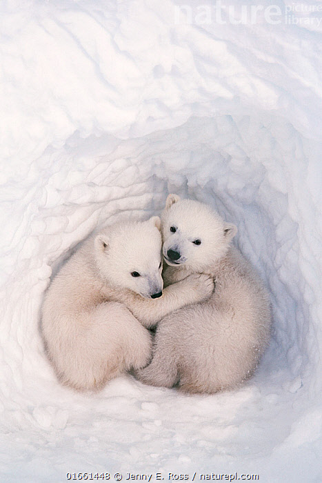 Polar bear (Ursus maritimus) cubs, age 2-3 months, in den, Wapusk National Park, Manitoba, Canada. March.  ,  Animal,Wildlife,Vertebrate,Mammal,Carnivore,Bear,Polar bear,Animalia,Animal,Wildlife,Vertebrate,Mammalia,Mammal,Carnivora,Carnivore,Ursidae,Bear,Ursus,Ursus maritimus,Polar bear,Ursus labradorensis,Ursus marinus,Ursus polaris,Resting,Rest,Cute,Adorable,Two,North America,Canada,Manitoba,Arctic,Polar,Young Animal,Baby,Baby Mammal,Cub,Animal Den,Den,Snow,Endangered species,threatened,Vulnerable  ,  Jenny E. Ross