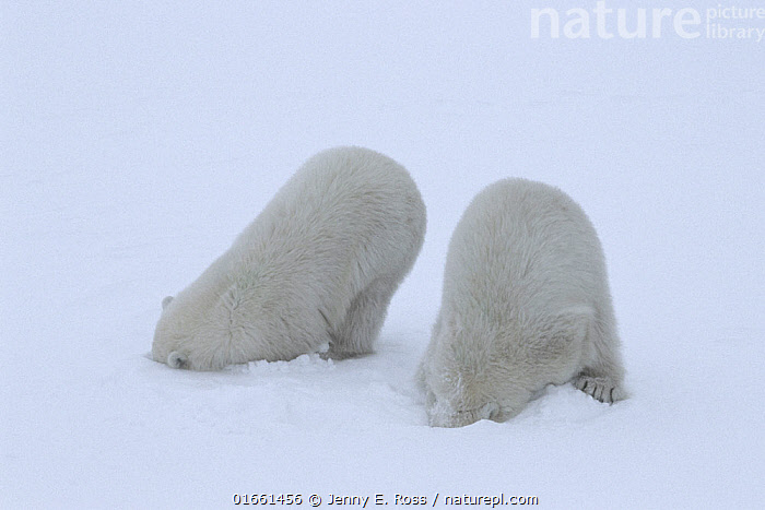 Polar bear (Ursus maritimus) cubs (age 10-11 months) playing together in the snow, mimicking their mother's hunting behaviour and pretending to break into a ringed seal's lair beneath the snow. Wapusk National Park, Manitoba, Canada. November.  ,  Animal,Wildlife,Vertebrate,Mammal,Carnivore,Bear,Polar bear,Animalia,Animal,Wildlife,Vertebrate,Mammalia,Mammal,Carnivora,Carnivore,Ursidae,Bear,Ursus,Ursus maritimus,Polar bear,Ursus labradorensis,Ursus marinus,Ursus polaris,North America,Canada,Manitoba,Arctic,Polar,Young Animal,Baby,Baby Mammal,Cub,Snow,Animal Behaviour,Playing,Predation,Hunting,Endangered species,threatened,Vulnerable  ,  Jenny E. Ross