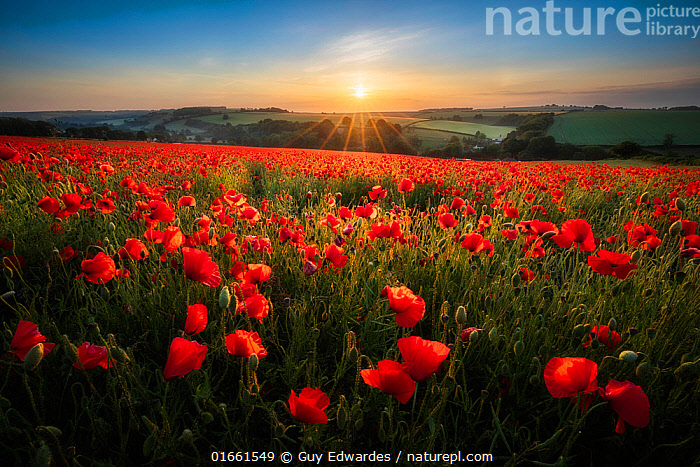 Field full of red Poppies (Papaver rhoeas) at sunrise, Forston, Dorset, England, UK, June.  ,  Plant,Vascular plant,Flowering plant,Dicot,Poppy,Common poppy,Plantae,Plant,Tracheophyta,Vascular plant,Magnoliopsida,Flowering plant,Angiosperm,Spermatophyte,Spermatophytina,Angiospermae,Ranunculales,Dicot,Dicotyledon,Ranunculanae,Papaveraceae,Fumariaceae,Papaver,Poppy,Stylomecon,Papaver rhoeas,Common poppy,Corn poppy,Field poppy,Red poppy,Atmospheric Mood,Mood,Calm,Colour,Red,Europe,Western Europe,UK,Great Britain,England,Dorset,Flower,Poppies,Agricultural Land,Cultivated Land,Field,Sunlight,Light Ray,Sunrise,Landscape,Summer,Beautiful,Farmland,Dawn,Natural Light,  ,  Guy Edwardes