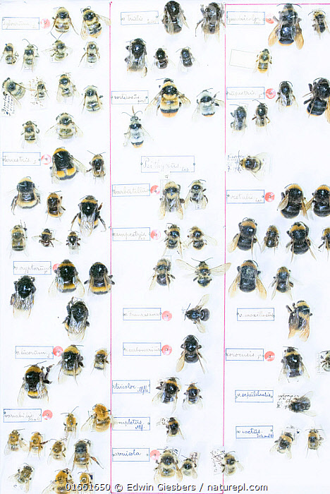 Bumblebee (Bombus spp), pinned specimens in collection of Entomological Society Krefeld. Germany 2018.  ,  Animal,Wildlife,Arthropod,Insect,Bee,Bumblebee,Animalia,Animal,Wildlife,Hexapoda,Arthropod,Invertebrate,Hexapod,Arthropoda,Insecta,Insect,Hymenoptera,Apidae,Bee,Apid bee,Apoidea,Apocrita,Bombus,Bumblebee,Bumble bee,Natural Science,Life Science,Biology,Order,Ordered,Organized,System,Systematic,Europe,Western Europe,Germany,High Angle View,Specimen,Science,Elevated view,Collection,Museum Specimen,Pinned Specimen,  ,  Edwin Giesbers