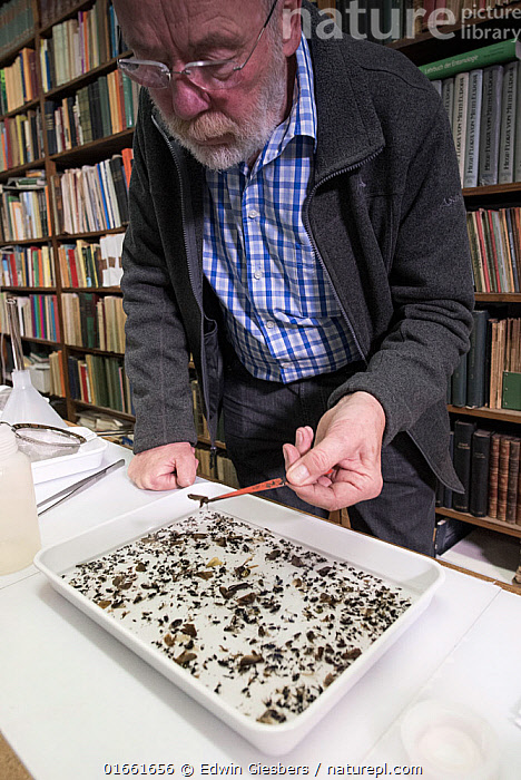 Entomologist sorting through tray of collected insects. Long-term monitoring by the Entomological Society Krefeld has revealed a 75% decline in insect biomass over 27 years. Germany, May 2018.  ,  Animal,Wildlife,Arthropod,Insect,Animalia,Animal,Wildlife,Hexapoda,Arthropod,Invertebrate,Hexapod,Arthropoda,Insecta,Insect,People,Man,Scientist,Scientists,Life Scientist,Biologist,Biologists,Natural Science,Life Science,Ecology,Biology,Research,Researching,Europe,Western Europe,Germany,North Rhine Westphalia,Specimen,Indoors,Science,Identification,Krefeld,  ,  Edwin Giesbers