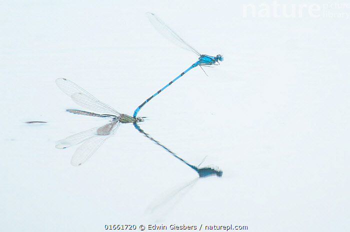 Common blue damselfly (Enallagma cyathigerum) pair in tandem with female ovipositing, reflected in water. September.  ,  Animal,Wildlife,Arthropod,Insect,Pterygota,Damselfly,Bluet,Common blue damselfly,Animalia,Animal,Wildlife,Hexapoda,Arthropod,Invertebrate,Hexapod,Arthropoda,Insecta,Insect,Odonata,Pterygota,Coenagrionidae,Damselfly,Zygoptera,Enallagma,Bluet,Bluet damselfly,Enallagma cyathigerum,Common blue damselfly,Northern bluet,Common bluet,Agrion cyathigerum,Europe,Western Europe,The Netherlands,Holland,Netherlands,Reflection,Freshwater,Water Surface,Water,Animal Behaviour,Reproduction,Mating Behaviour,Copulation,Egg laying,Lays,Ovipositing,  ,  Edwin Giesbers