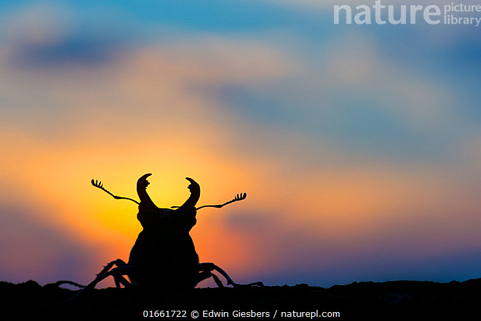 Stag beetle (Lucanus cervus) silhouetted at sunset. The Netherlands. August.  ,  Animal,Wildlife,Arthropod,Insect,Beetle,Stag beetle,Animalia,Animal,Wildlife,Hexapoda,Arthropod,Invertebrate,Hexapod,Arthropoda,Insecta,Insect,Coleoptera,Beetle,Endopterygota,Neoptera,Lucanidae,Stag beetle,Scarab beetle,Scarabaeoidea,Polyphaga,Lucanus,Lucanus cervus,Scarabaeus cervus,Lucanus capreolus,Lucanus scapulodonta,Europe,Western Europe,The Netherlands,Holland,Netherlands,Copy Space,Cutout,Back Lit,Male Animal,Claw,Claws,Pincers,Silhouette,Negative space,Belidae,  ,  Edwin Giesbers