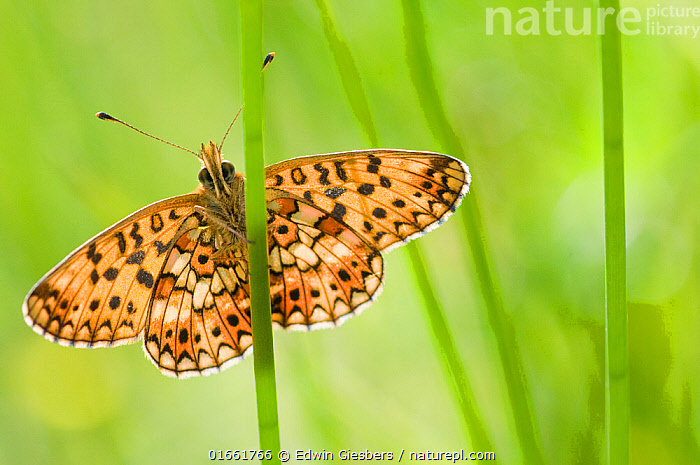 Small pearl bordered fritillary butterfly (Boloria selene) resting on stem. The Netherlands. August.  ,  Animal,Wildlife,Arthropod,Insect,Brushfooted butterfly,Passion vine butterfly,Small pearl bordered fritillary,Animalia,Animal,Wildlife,Hexapoda,Arthropod,Invertebrate,Hexapod,Arthropoda,Insecta,Insect,Lepidoptera,Lepidopterans,Nymphalidae,Brushfooted butterfly,Fourfooted butterfly,Nymphalid,Butterfly,Papilionoidea,Boloria,Passion vine butterfly,Longwing,Heliconian,Heliconninae,Heliconiini,Boloria selene,Small pearl bordered fritillary,Silver bordered fritillary,Small pearlbordered fritillary,Clossiana selene,Papilio selene,Colour,Green,Orange,Pattern,Spotted,Europe,Western Europe,The Netherlands,Holland,Netherlands,Ventral view,Underside,  ,  Edwin Giesbers