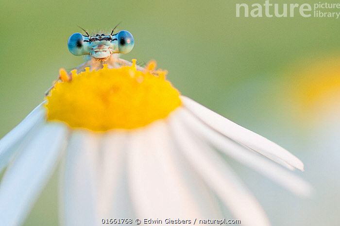 RF - White-legged damselfly (Platycnemis pennipes) peering over Oxeye daisy (Leucanthemum vulgare) flower. The Netherlands. August. (This image may be licensed either as rights managed or royalty free.)  ,  Plant,Vascular plant,Flowering plant,Asterid,Daisy,Oxeye daisy,Animal,Wildlife,Arthropod,Insect,Pterygota,White legged damselfly,Featherleg,Plantae,Plant,Tracheophyta,Vascular plant,Magnoliopsida,Flowering plant,Angiosperm,Spermatophyte,Spermatophytina,Angiospermae,Asterales,Asterid,Dicot,Dicotyledon,Asteranae,Asteraceae,Compositae,Leucanthemum,Daisy,Leucanthemum vulgare,Oxeye daisy,Ox eye daisy,Oxeyedaisy,Marguerite,Leucanthemum praecox,Chrysanthemum ircutiana,Chrysanthemum leucanthemum,Animalia,Animal,Wildlife,Hexapoda,Arthropod,Invertebrate,Hexapod,Arthropoda,Insecta,Insect,Odonata,Pterygota,Platycnemididae,White legged damselfly,Damselfly,Zygoptera,Platycnemidae,Platycnemis,Featherleg,Featherleg damselfly,Platycnemis pennipes,Whitelegged damselfly,Blue featherleg,Platycnemis insularis,Libella pennipes,Puella hyalinata,Bizarre,Weird,Cute,Adorable,Europe,Western Europe,The Netherlands,Holland,Netherlands,Animal Eye,Eyes,Eye contact,Direct Gaze,Alien appearance,Looking,  ,  Edwin Giesbers