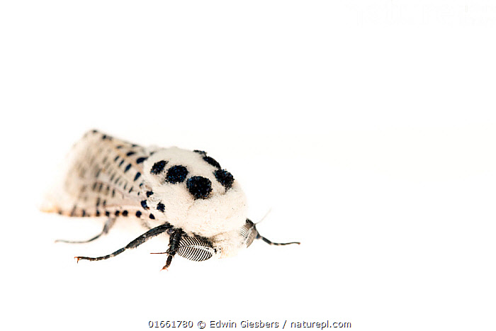 White ermine moth (Spilosoma lubricipeda). De Kaaistoep Nature Reserve, Tilburg, The Netherlands. April. Controlled conditions.  ,  Animal,Wildlife,Arthropod,Insect,Tiger moth,White ermine,Animalia,Animal,Wildlife,Hexapoda,Arthropod,Invertebrate,Hexapod,Arthropoda,Insecta,Insect,Lepidoptera,Lepidopterans,Arctiidae,Tiger moth,Arctiid moth,Erebidae,Moth,Noctuid moth,Noctuid,Owlet moth,Noctuoidea,Spilosoma,Spilosoma lubricipeda,White ermine,Colour,Europe,Western Europe,The Netherlands,Holland,Netherlands,Copy Space,Cutout,Plain Background,White Background,Indoors,Studio Shot,Negative space,Black and white,North Brabant,Tilburg,  ,  Edwin Giesbers