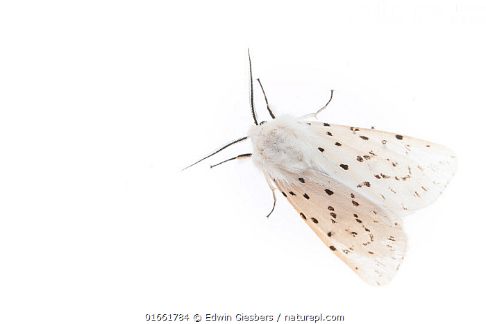 White ermine moth (Spilosoma lubricipeda). De Kaaistoep Nature Reserve, Tilburg, The Netherlands. April. Controlled conditions.  ,  Animal,Wildlife,Arthropod,Insect,Tiger moth,White ermine,Animalia,Animal,Wildlife,Hexapoda,Arthropod,Invertebrate,Hexapod,Arthropoda,Insecta,Insect,Lepidoptera,Lepidopterans,Arctiidae,Tiger moth,Arctiid moth,Erebidae,Moth,Noctuid moth,Noctuid,Owlet moth,Noctuoidea,Spilosoma,Spilosoma lubricipeda,White ermine,Colour,White,Pattern,Spotted,Europe,Western Europe,The Netherlands,Holland,Netherlands,Copy Space,Cutout,Plain Background,White Background,High Angle View,Indoors,Studio Shot,Elevated view,Negative space,Dorsal view,Black and white,North Brabant,Tilburg,  ,  Edwin Giesbers