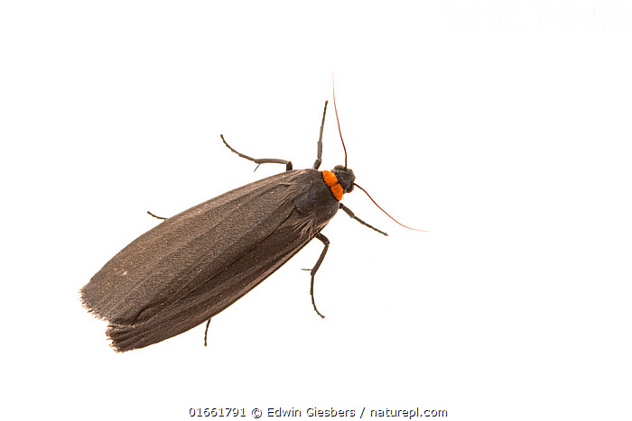Red-necked footman moth (Atolmis rubricollis). De Kaaistoep Nature Reserve, Tilburg, The Netherlands. April. Controlled conditions.  ,  Animal,Wildlife,Arthropod,Insect,Tiger moth,Rednecked footman,Animalia,Animal,Wildlife,Hexapoda,Arthropod,Invertebrate,Hexapod,Arthropoda,Insecta,Insect,Lepidoptera,Lepidopterans,Arctiidae,Tiger moth,Arctiid moth,Erebidae,Moth,Noctuid moth,Noctuid,Owlet moth,Noctuoidea,Atolmis,Atolmis rubricollis,Rednecked footman,Red necked footman,Phalaena rubricollis,Colour,Black,Europe,Western Europe,The Netherlands,Holland,Netherlands,Copy Space,Cutout,Plain Background,White Background,High Angle View,Indoors,Studio Shot,Elevated view,Negative space,Dorsal view,North Brabant,Tilburg,  ,  Edwin Giesbers