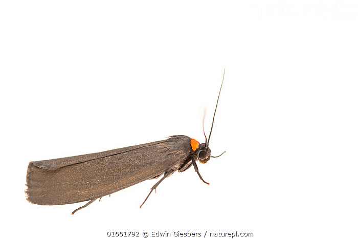 Red-necked footman moth (Atolmis rubricollis). De Kaaistoep Nature Reserve, Tilburg, The Netherlands. April. Controlled conditions.  ,  Animal,Wildlife,Arthropod,Insect,Tiger moth,Rednecked footman,Animalia,Animal,Wildlife,Hexapoda,Arthropod,Invertebrate,Hexapod,Arthropoda,Insecta,Insect,Lepidoptera,Lepidopterans,Arctiidae,Tiger moth,Arctiid moth,Erebidae,Moth,Noctuid moth,Noctuid,Owlet moth,Noctuoidea,Atolmis,Atolmis rubricollis,Rednecked footman,Red necked footman,Phalaena rubricollis,Europe,Western Europe,The Netherlands,Holland,Netherlands,Copy Space,Cutout,Plain Background,White Background,Side View,Indoors,Studio Shot,Negative space,North Brabant,Tilburg,  ,  Edwin Giesbers