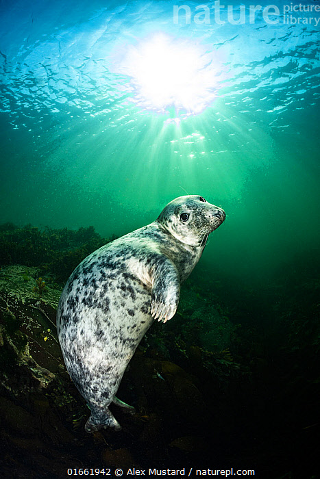 Young female Grey seal (Halichoerus grypus) beneath sunburst. Farne Islands, Northumberland, UK.  ,  Animal,Wildlife,Vertebrate,Mammal,Carnivore,True seal,Gray Seal,Animalia,Animal,Wildlife,Vertebrate,Mammalia,Mammal,Carnivora,Carnivore,Phocidae,True seal,Pinnipeds,pinnipedia,Halichoerus,Halichoerus grypus,Gray Seal,Grey Seal,Europe,Western Europe,UK,Great Britain,England,Northumberland,Portrait,Young Animal,Female animal,Sunlight,Light Ray,Ocean,Atlantic Ocean,Marine,Underwater,Water,Temperate,Saltwater,Sea,The Sun,Eye contact,North Sea,Direct Gaze,Natural Light,Farne Islands,Looking,Marine  ,  Alex Mustard