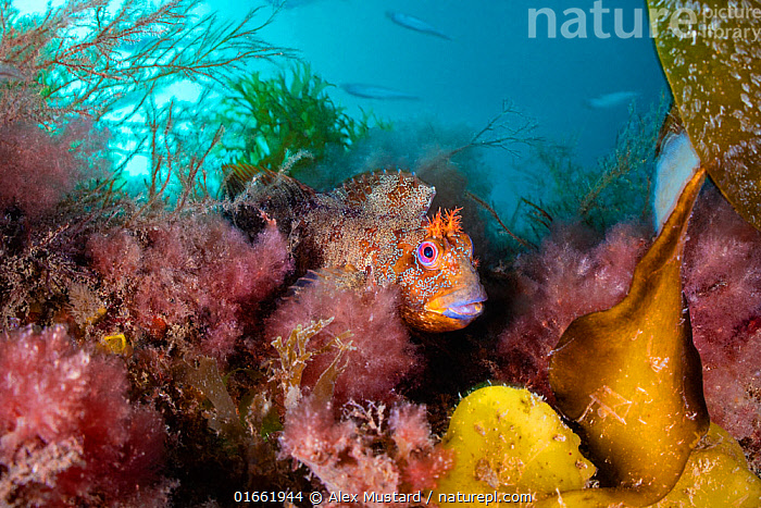 Tompot blenny (Parablennius gattorugine) in colourful sea weeds, with fish behind. Swanage, Dorset, England, United Kingdom. British Isles.  ,  Animal,Wildlife,Vertebrate,Ray-finned fish,Percomorphi,Combtooth blennies,Tompot blenny,Animalia,Animal,Wildlife,Vertebrate,Actinopterygii,Ray-finned fish,Osteichthyes,Bony fish,Fish,Perciformes,Percomorphi,Acanthopteri,Blenniidae,Combtooth blennies,Parablennius,Parablennius gattorugine,Tompot blenny,Blennius varus,Blennius ruber,Hiding,Colour,Colourful,Europe,Western Europe,UK,Great Britain,England,Dorset,Ocean,English Channel,The English Channel,Atlantic Ocean,Marine,Underwater,Water,Habitat,Temperate,Saltwater,Sea,Seaweed,Marine  ,  Alex Mustard