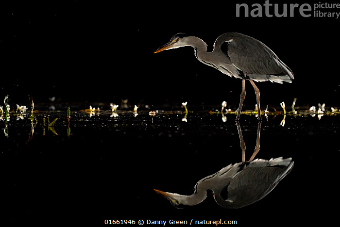 Grey heron (Ardea cinerea) wading at night, reflected in water. Lincolnshire, UK, September.  ,  Animal,Wildlife,Vertebrate,Bird,Birds,Typical heron,Grey heron,Animalia,Animal,Wildlife,Vertebrate,Aves,Bird,Birds,Pelecaniformes,Ardeidae,Ardea,Typical heron,Heron,Ardeinae,Ardea cinerea,Grey heron,Wading,Dark,Europe,Western Europe,UK,Great Britain,England,Lincolnshire,Copy Space,Plain Background,Black Background,Side View,Reflection,Night,Water,Arty shots,Negative space,  ,  Danny Green
