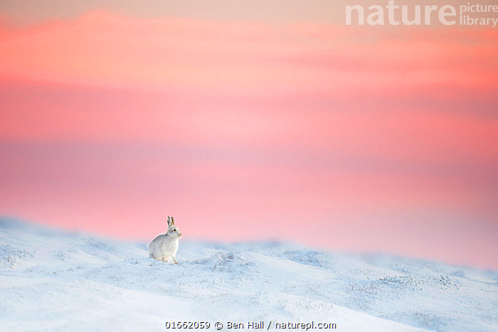 Mountain hare (Lepus timidus) on snow covered moorland at last light, Derbyshire, UK.  ,  Animal,Wildlife,Vertebrate,Mammal,Lagomorph,Leporid,Hare,Mountain Hare,Animalia,Animal,Wildlife,Vertebrate,Mammalia,Mammal,Lagomorpha,Lagomorph,Leporidae,Leporid,Lepus,Hare,Lepus timidus,Mountain Hare,Alone,Solitude,Solitary,Colour,Pink,Europe,Western Europe,UK,Great Britain,England,Derbyshire,Copy Space,Sky,Snow,Sunset,Setting Sun,Sunsets,Winter,Moor,Moors,Dusk,Upland,Negative space,  ,  Ben Hall