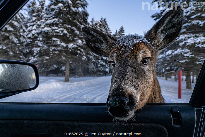 A white-tailed deer (Odocoileus virginianus), habituated after being fed by locals and tourists, sticks its head into the photographer's car in New Brunswick, Canada.  ,  habituated,,Animal,Wildlife,Vertebrate,Mammal,Deer,Key Deer,Animalia,Animal,Wildlife,Vertebrate,Mammalia,Mammal,Artiodactyla,Even-toed ungulates,Cervidae,Deer,True deer,ruminantia,Ruminant,Odocoileus,Odocoileus virginianus,Key Deer,White-tailed Deer,Humorous,North America,Canada,New Brunswick,Land Vehicle,Motor Vehicle,Part Of Vehicle,Vehicle Window,Car Window,Snow,Winter,Car,Automobile,Funny,Humour,amusing,  ,  Jen Guyton