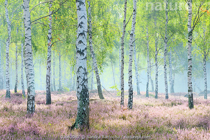 Birch trees (Betula sp) growing amongst heather (Calluna vulgaris), Reicherskreuzer Heide, Germany.  ,  Plant,Vascular plant,Flowering plant,Asterid,Ling,Rosid,Birch tree,Plantae,Plant,Tracheophyta,Vascular plant,Magnoliopsida,Flowering plant,Angiosperm,Spermatophyte,Spermatophytina,Angiospermae,Ericales,Asterid,Dicot,Dicotyledon,Asteranae,Ericaceae,Calluna,Calluna vulgaris,Ling,Common heather,Erica vulgaris,Erica herbacea,Calluna elegantissima,Fagales,Rosid,Rosanae,Betulaceae,Betula,Birch tree,Atmospheric Mood,Mood,Calm,Europe,Western Europe,Germany,Lighting Technique,Brightly Lit,Bright Light,Bright,Shimmer,Shimmering,Shine,Shining,Woodland,Broadleaf woodland,Forest,Deciduous,Reicherskreuzer Heide,Ericaceous,Tree,Trees  ,  Sandra Bartocha