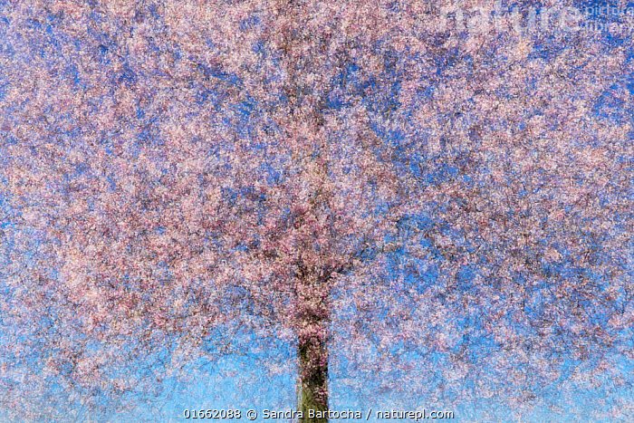 Multiple exposure of a cherry tree (Prunus sp) in blossom. Potsdam, Germany. April. Created using 10 exposures.  ,  Plant,Vascular plant,Flowering plant,Rosid,Stone fruit,Plantae,Plant,Tracheophyta,Vascular plant,Magnoliopsida,Flowering plant,Angiosperm,Spermatophyte,Spermatophytina,Angiospermae,Rosales,Rosid,Dicot,Dicotyledon,Rosanae,Rosaceae,Prunus,Stone fruit,Creativity,Creative,Ingenious,Colour,Pink,Photographic Effect,Multiple Exposure,Flower,Blossom,Spring,Arty shots,Abstract,Abstracts,Tree,Trees  ,  Sandra Bartocha