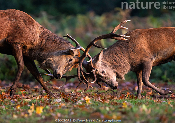 Red Deer (Cervus elaphus) stags fighting during the rutting season. Bushy Park, London, UK. October.  ,  Animal,Wildlife,Vertebrate,Mammal,Deer,Red Deer,Animalia,Animal,Wildlife,Vertebrate,Mammalia,Mammal,Artiodactyla,Even-toed ungulates,Cervidae,Deer,True deer,ruminantia,Ruminant,Cervus,Cervus elaphus,Red Deer,Courting,Europe,Western Europe,UK,Great Britain,England,London,Greater London,Male Animal,Stag,Stags,Antler,Antlers,Autumn,Animal Behaviour,Reproduction,Mating Behaviour,Courtship,Aggression,Fighting,Rutting,  ,  Tony Heald