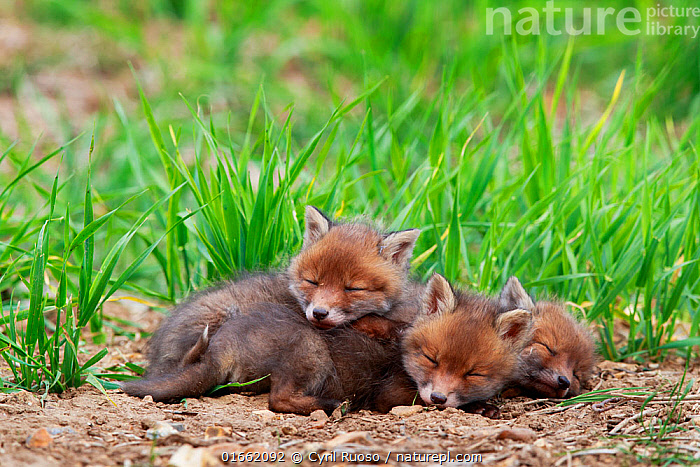 Three Red fox (Vulpes vulpes) cubs sleeping near den. Yonne, France, May.  ,  Animal,Wildlife,Vertebrate,Mammal,Carnivore,Canid,True fox,Red fox,Animalia,Animal,Wildlife,Vertebrate,Mammalia,Mammal,Carnivora,Carnivore,Canidae,Canid,Vulpes,True fox,Vulpini,Caninae,Vulpes vulpes,Red fox,Resting,Rest,Sleeping,Cute,Adorable,Few,Three,Group,Europe,Western Europe,France,Burgundy,Young Animal,Baby,Baby Mammal,Cub,Pup,Pups,Plant,Grass Family,Grass,Grasses,Spring,Bourgogne,Yonne,  ,  Cyril Ruoso
