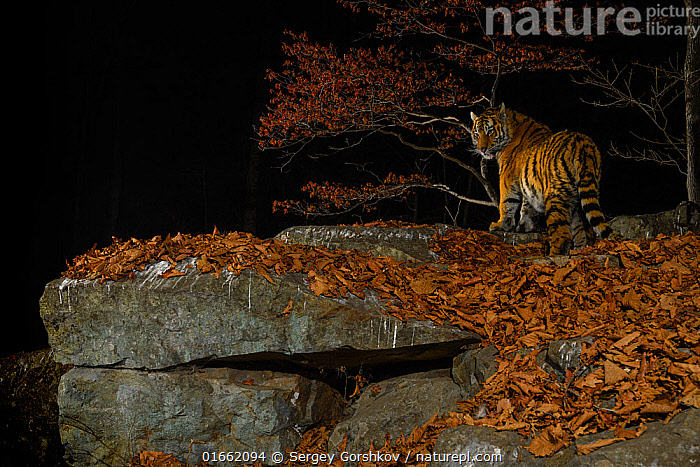 Siberian tiger (Panthera tigris altaica) at night, taken with remote camera in Land of the Leopard National Park, Far East Russia, November.Highly Commended in the Animal Portraits Category of the Wildlife Photographer of the Year Awards (WPOY) 2020  ,  Animal,Wildlife,Vertebrate,Mammal,Carnivore,Cat,Big cat,Tiger,Siberian tiger,Animalia,Animal,Wildlife,Vertebrate,Mammalia,Mammal,Carnivora,Carnivore,Felidae,Cat,Panthera,Big cat,Panthera tigris,Tiger,Felis tigris,Tigris striatus,Tigris regalis,Russia,Profile,Side View,Night,Reserve,Forest,Siberian tiger,Amur tiger,Competition winner,Protected area,National Park,Russian Far East,Photography award,Far East Federal District,North Asia,Asian Russia,Endangered species,threatened,Endangered  ,  Sergey  Gorshkov