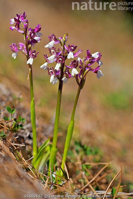 Orchid (Anacamptis syriaca), Lefkara, Cyprus, March.  ,  Plant,Vascular plant,Flowering plant,Monocot,Orchid,Plantae,Plant,Tracheophyta,Vascular plant,Magnoliopsida,Flowering plant,Angiosperm,Spermatophyte,Spermatophytina,Angiospermae,Asparagales,Monocot,Monocotyledon,Lilianae,Orchidaceae,Orchid,Anacamptis,Europe,Southern Europe,Cyprus,Close Up,Flower,Spring,Anacamptis syriaca,  ,  Lorraine Bennery