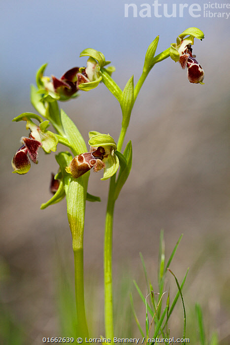 Orchid, (Ophrys flavomarginata) Larnaca, Cyprus, March.  ,  Plant,Vascular plant,Flowering plant,Monocot,Orchid,Bee orchid,Plantae,Plant,Tracheophyta,Vascular plant,Magnoliopsida,Flowering plant,Angiosperm,Spermatophyte,Spermatophytina,Angiospermae,Asparagales,Monocot,Monocotyledon,Lilianae,Orchidaceae,Orchid,Ophrys,Bee orchid,Europe,Southern Europe,Cyprus,Close Up,Orchid Order,Orchid Family,Orchids,Flower,Spring,Ophrys flavomarginata,  ,  Lorraine Bennery
