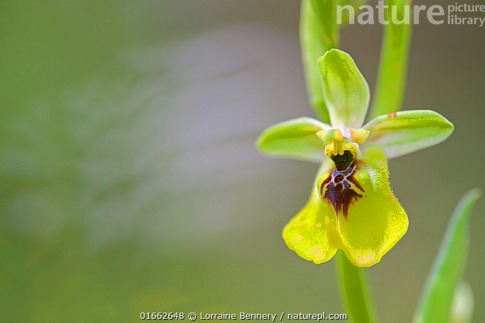 Yellow spider orchid (Ophrys lacaitae), Sortino, Sicily, April.  ,  Plant,Vascular plant,Flowering plant,Monocot,Orchid,Bee orchid,Lacaita&#39,s Ophrys,Plantae,Plant,Tracheophyta,Vascular plant,Magnoliopsida,Flowering plant,Angiosperm,Spermatophyte,Spermatophytina,Angiospermae,Asparagales,Monocot,Monocotyledon,Lilianae,Orchidaceae,Orchid,Ophrys,Bee orchid,Europe,Southern Europe,Italy,Sicily,Close Up,Flower,Spring,Ophrys lacaitae,Lacaita&#39,s Ophrys,  ,  Lorraine Bennery