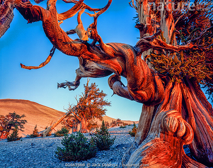 Ancient Bristlecone Pine Forest with twisted limbs of Bristlecone pine (Pinus longaeva) at dawn on the White Mountains, Inyo National Forest, California, USA.  ,  Plant,Vascular plant,Conifer,Pine tree,Great basin bristlecone pine,American,Plantae,Plant,Tracheophyta,Vascular plant,Pinopsida,Conifer,Gymnosperm,Spermatophyte,Pinophyta,Coniferophyta,Coniferae,Spermatophytina,Gymnospermae,Pinales,Pinaceae,Pinus,Pine tree,Pine,Pinus longaeva,Great basin bristlecone pine,Bristlecone pine tree,Intermountain bristlecone pine,Western bristlecone pine,Pinus aristata var. longaeva,Pinus balfouriana longaeva,Twist,Twisting,Twists,Old,North America,USA,Western USA,Southwest USA,California,Close Up,Bark,Tree,American,White Mountains,Inyo National Forest,Coniferous,United States of America,Tree,Trees  ,  Jack Dykinga