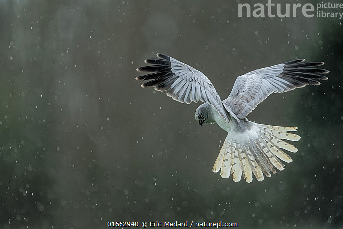 Hen harrier (Circus cyaneus) flying / hovering in the rain, Mayenne, France. April.  ,  Animal,Wildlife,Vertebrate,Bird,Birds,Hen harrier,Harrier,Animalia,Animal,Wildlife,Vertebrate,Aves,Bird,Birds,Accipitriformes,Accipitridae,Circus,Bird of prey,Raptor,Circus cyaneus,Hen harrier,Northern harrier,Marsh hawk,Flying,Europe,Western Europe,France,Copy Space,Feather,Weather,Raining,Rain,Harrier,Negative space,Birds of Prey,  ,  Eric  Medard