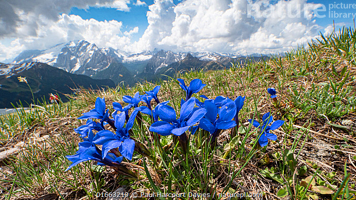 Spring gentian (Gentiana verna) in mountains. Dolomites, Italy. June 2019.  ,  Alpine,,Plant,Vascular plant,Flowering plant,Asterid,Gentian,Spring gentian,Plantae,Plant,Tracheophyta,Vascular plant,Magnoliopsida,Flowering plant,Angiosperm,Spermatophyte,Spermatophytina,Angiospermae,Gentianales,Asterid,Dicot,Dicotyledon,Asteranae,Gentianaceae,Gentian,Gentiana,Gentiana verna,Spring gentian,Calathiana verna,Ericala angulosa,Ericala verna,Colour,Blue,Europe,Southern Europe,Italy,Flower,Mountain,Landscape,Spring,Habitat,Alps,Eastern Alps,Southern Limestone Alps,Dolomites,  ,  Paul  Harcourt Davies