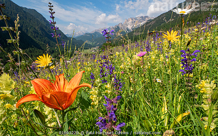 Species rich alpine meadow with Orange lily (Lilium bulbiferum), Meadow clary (Salvia pratensis) and Yellow rattle (Rhinathus sp). View towards Campitello di Fassa and mountains, Fassa Valley, Dolomites, Italy. June 2019.  ,  Alpine,,Plant,Vascular plant,Flowering plant,Asterid,Broomrape family,Yellow rattle,Sage,Meadow clary,Monocot,Lily family,Lily,Orange lily,Plantae,Plant,Tracheophyta,Vascular plant,Magnoliopsida,Flowering plant,Angiosperm,Spermatophyte,Spermatophytina,Angiospermae,Lamiales,Asterid,Dicot,Dicotyledon,Asteranae,Orobanchaceae,Broomrape family,Broomrape,Rhinanthus,Yellow rattle,Rattleweed,Lamiaceae,Labiatae,Salvia,Sage,Salvia pratensis,Meadow clary,Meadow sage,Introduced sage,Sclarea pratensis,Plethiosphace pratensis,Gallitrichum pratense,Liliales,Monocot,Monocotyledon,Lilianae,Liliaceae,Lily family,Lilium,Lily,Variation,Colour,Colourful,Europe,Southern Europe,Italy,Trentino-Alto Adige,Wildflower,Wildflowers,Flower,Mountain,Alpine,Landscape,Summer,Grassland,Meadow,Wildflower Meadow,Habitat,Alps,Mixed species,Lilium bulbiferum,Orange lily,Eastern Alps,Southern Limestone Alps,Trentino,Fassa Valley,Val di Fassa,Dolomites,  ,  Paul  Harcourt Davies
